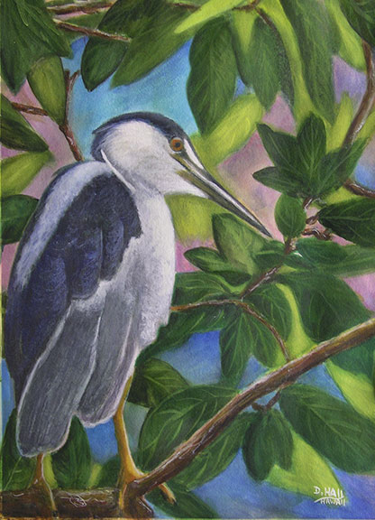 Auku�u or Black-Crowned Night Heron, original water color painting by Hawaii artist Donald K. Hall #432
