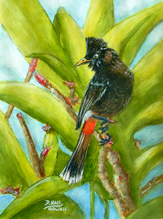 Hawaiian Art Picture, Red Vented Bulbul  Water Color Painting by Hawaii Bird artist Donald K. Hall #512